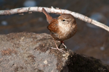 A winter wren taken in February in Delaware