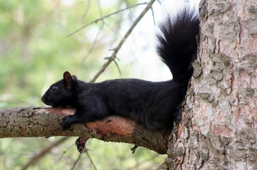 A black gray squirrel
