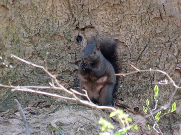 A brown-black squirrel photographed in Goddard Park, Chester County, PA