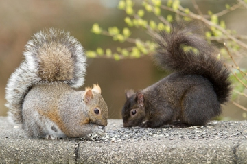 A gray squirrel approached a black squirrel
