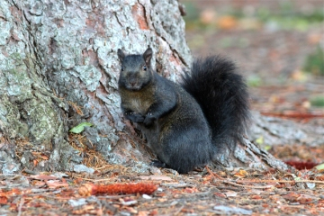 A brown-black squirrel on the Penn State Altoona campus