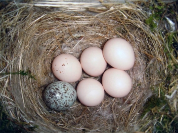 A phoebe nest with a brown-headed cowbird egg