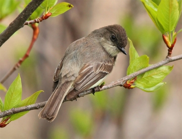 The Eastern phoebe (Sayornis phoebe)