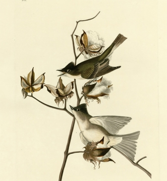 "Audubon's painting of the eastern phoebe, the ""pewit flycatcher"" as he called it"