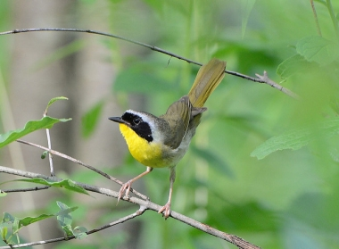 A common yellowthroat in Pennsylvania using a shrubby habitat (Photo by Dave Inman on Flickr, Creative Commons license)