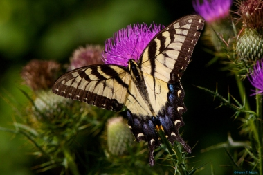 An eastern tiger swallowtail butterfly on a thistle in Pennsylvania