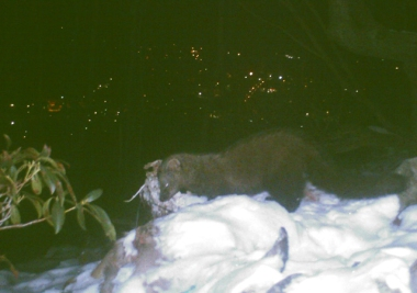 A fisher feeding at a game cam on a Pennsylvania mountaintop