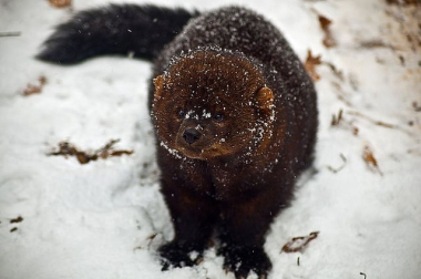 A fisher in the snow in West Virginia