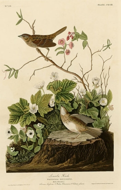 "Audubon's painting of the Lincoln's sparrow, the ""Lincoln finch"" as he called it"
