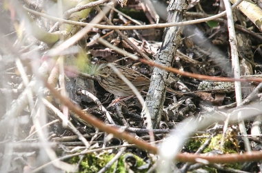 A Lincoln's sparrow hiding in low shrubs in Ontario