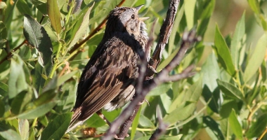 A Lincoln's sparrow singing