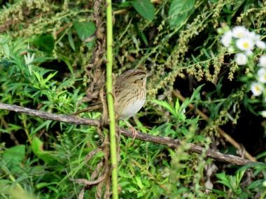 A Lincoln's sparrow in the John Heinz National Wildlife Refuge, Philadelphia