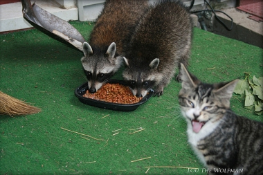 Two raccoons eating cat food on a porch