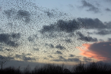 A murmuration at sunset in the U.K.