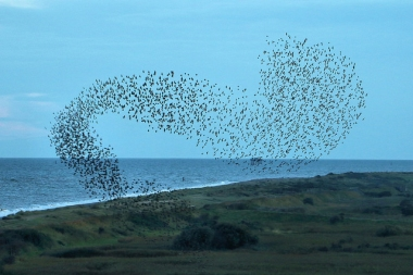 A murmuration at the RSPB Minsmere in the U.K.