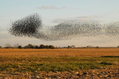 A starling murmuration in Illinois