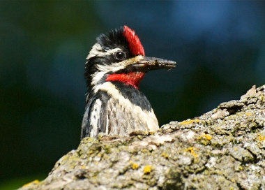 Insects in the beak of a male yellow-bellied sapsucker