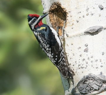 A male yellow-bellied sapsucker checking out a potential nest hole