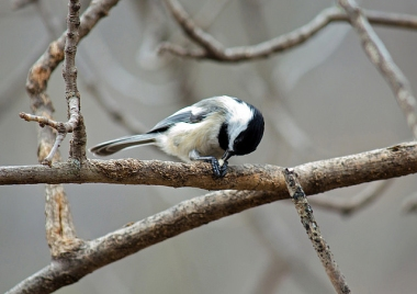 A black-capped chickadee opening a seed