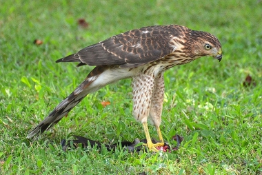 A cooper's hawk with its catch near a bird feeder