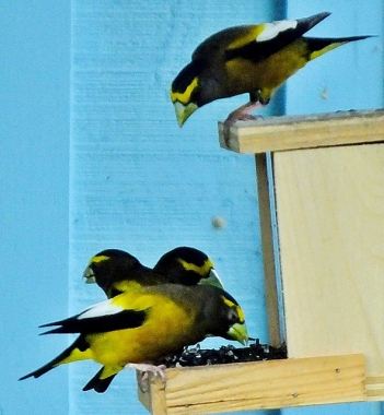 Evening grosbeaks on a bird feeder