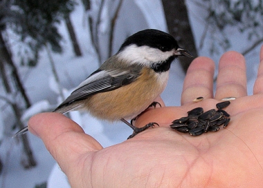 Hand feeding a black-capped chickadee