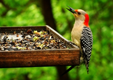 A red-bellied woodpecker at a feeder in Pennsylvania