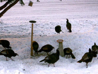 Wild turkeys at a feeder in Pennsylvania