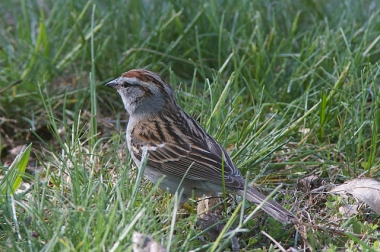 A chipping sparrow in Codorus State Park, Hanover, PA