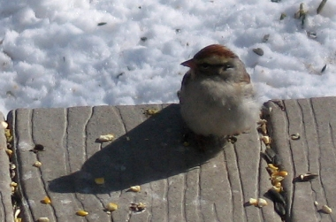 The chipping sparrow on our back porch