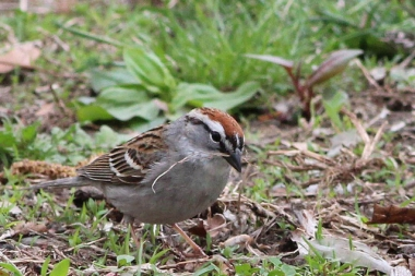 A chipping sparrow with nest material