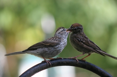 A parent chipping sparrow feeding an immature bird