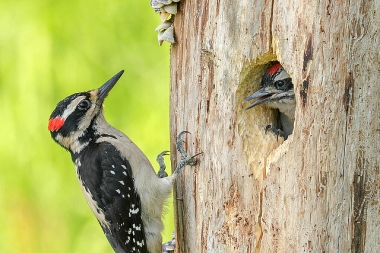 An adult male hairy woodpecker outside a nest hole with a juvenile male inside