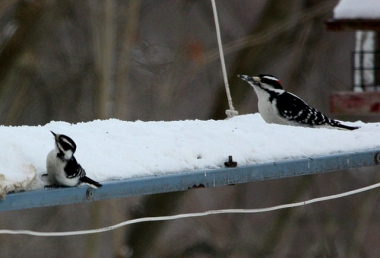 A downy woodpecker (left) on a feeder with a hairy woodpecker