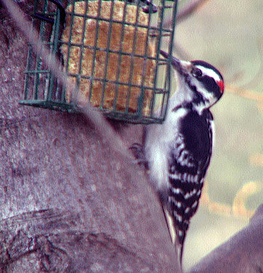 A hairy woodpecker at a feeder in Danville, PA