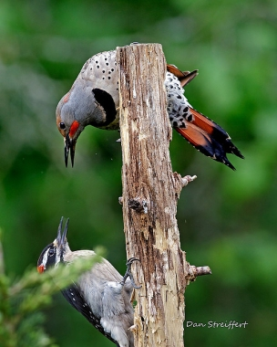 A woodpecker meet-up—a hairy and a northern flicker having a dispute