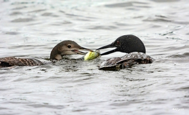 An adult loon, right, feeding fish to a juvenile
