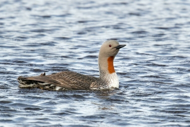 An adult red-throated loon