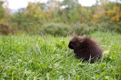 A porcupette in coastal Maine