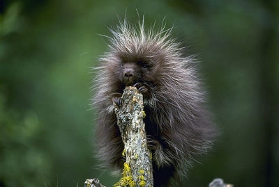 A porcupette on a post