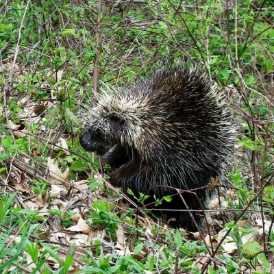 A porcupine in our field