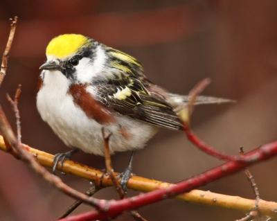 A chestnut-sided warbler
