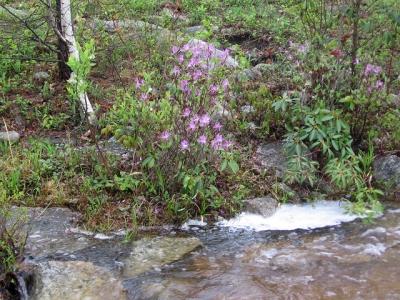 Rhodora in bloom at the Eales Preserve