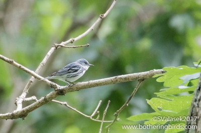 A cerulean warbler at Raccoon Creek State Park