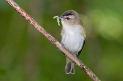 A red-eyed vireo in Chester County