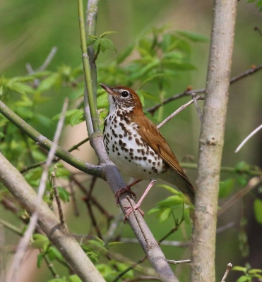 A wood thrush in Allegheny County