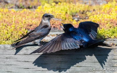A pair of purple martins, the male on the right