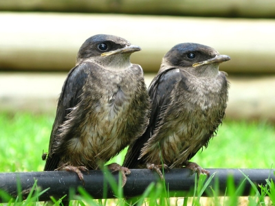 Purple martin fledglings