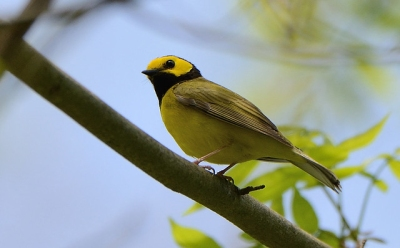 A male hooded warbler in Union, Pennsylvania