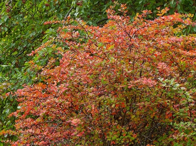 Japanese barberry in its autumn coloration